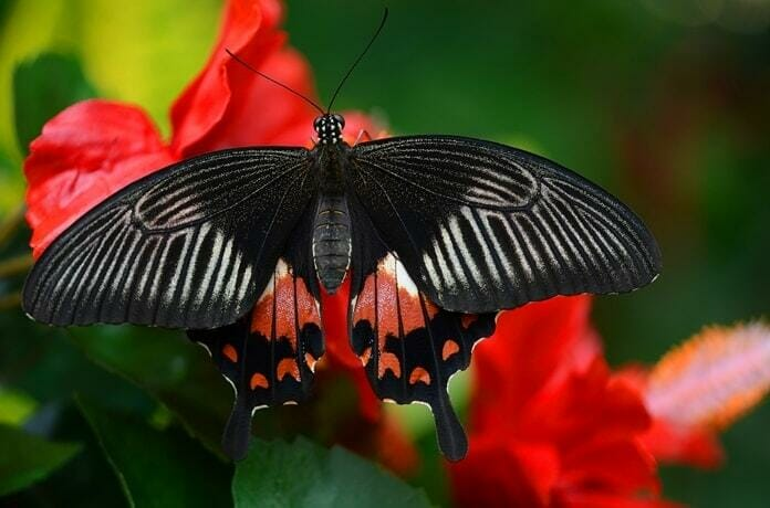 black-butterfly-meaning