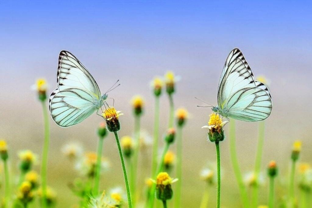 what-does-it-mean-to-see-a-white-butterfly