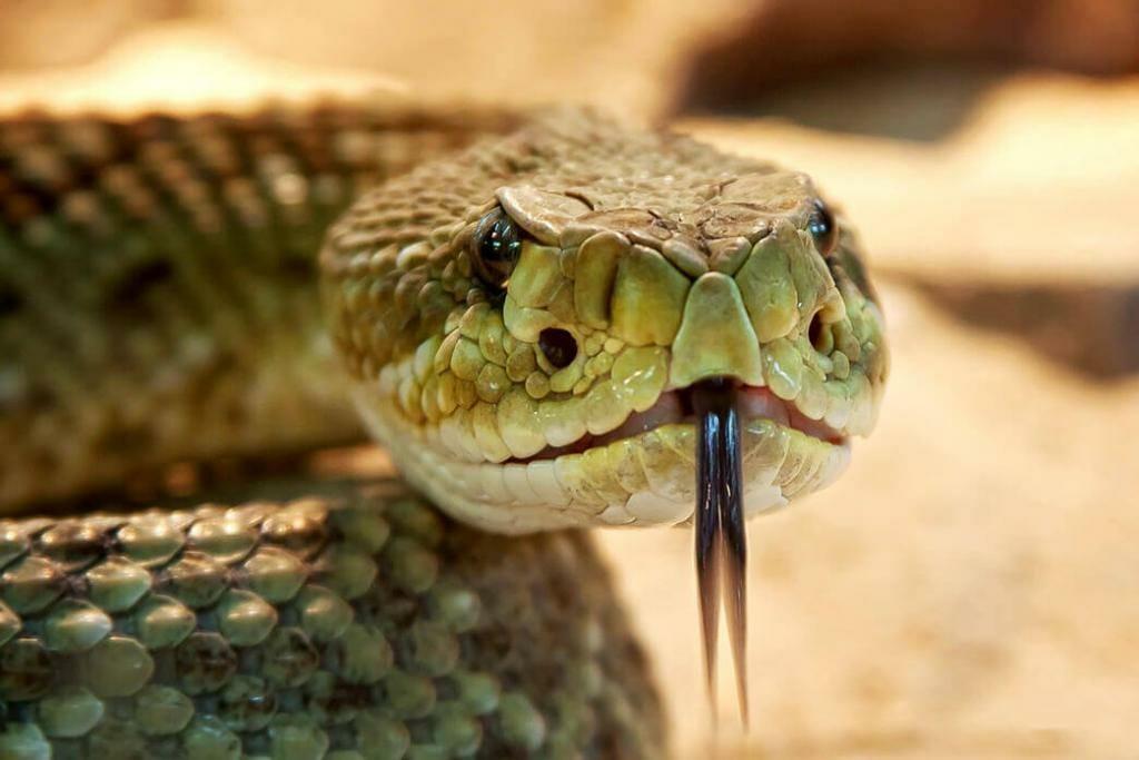 does-rattlesnakes-nurse-their-babies