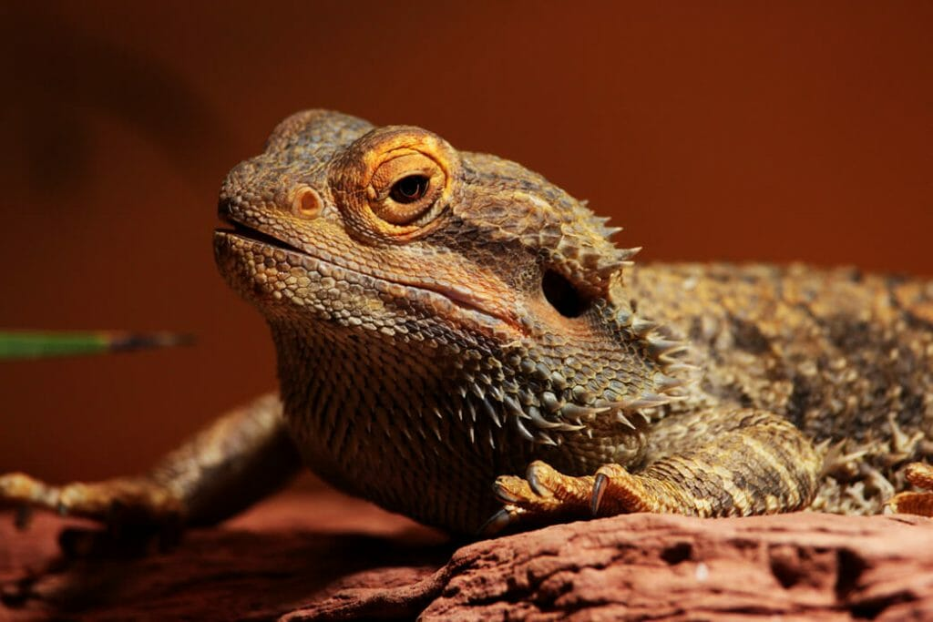 keeping-a-bearded-dragon